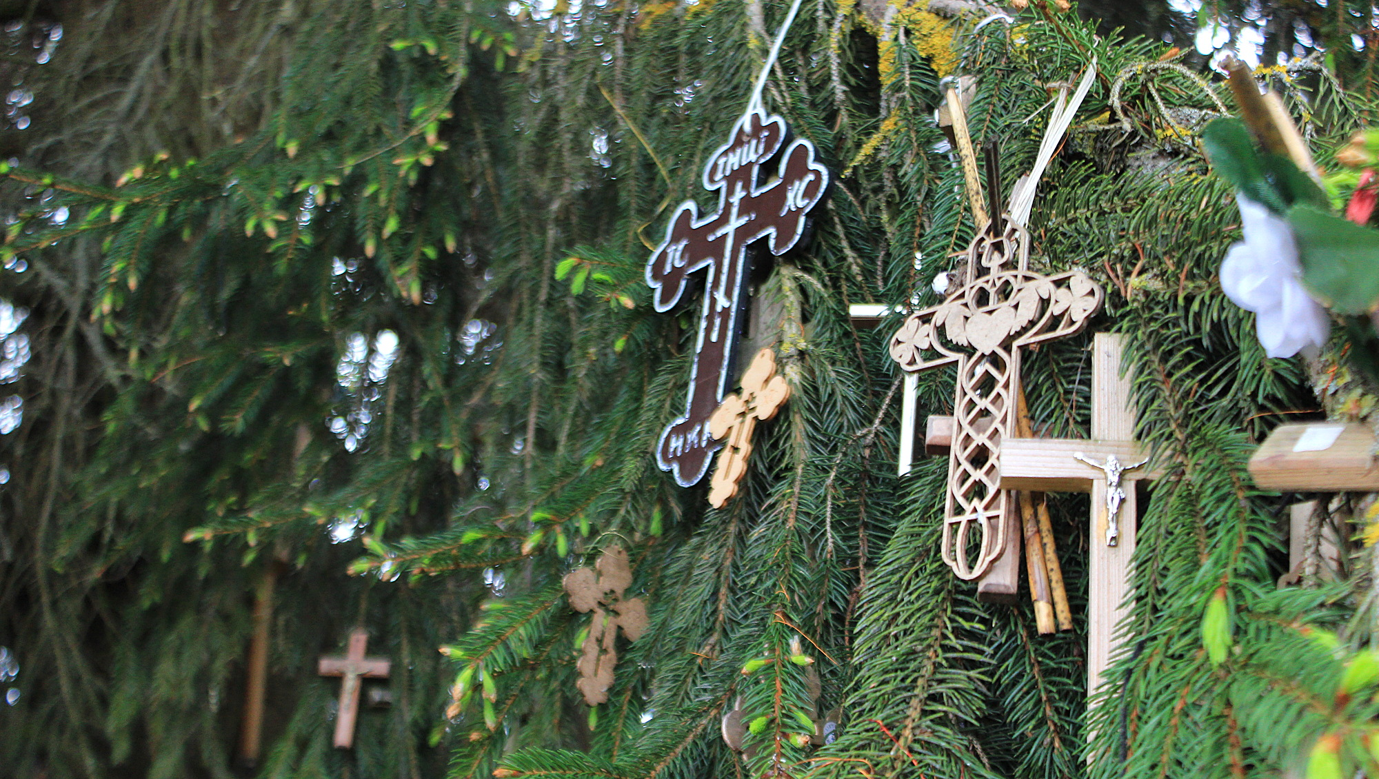 Crosses hanging from a pine tree like Christmas decorations.