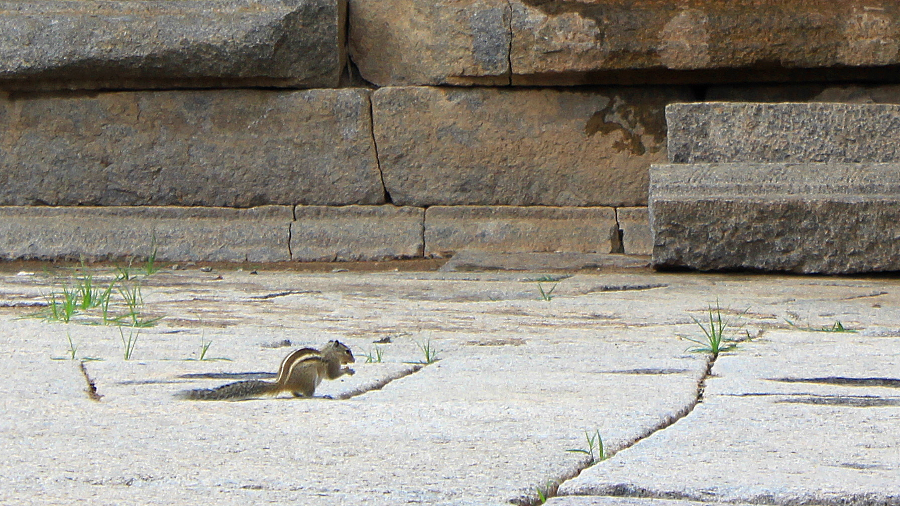A small Indian squirrel standing on two legs on the stone pavement of a temple.