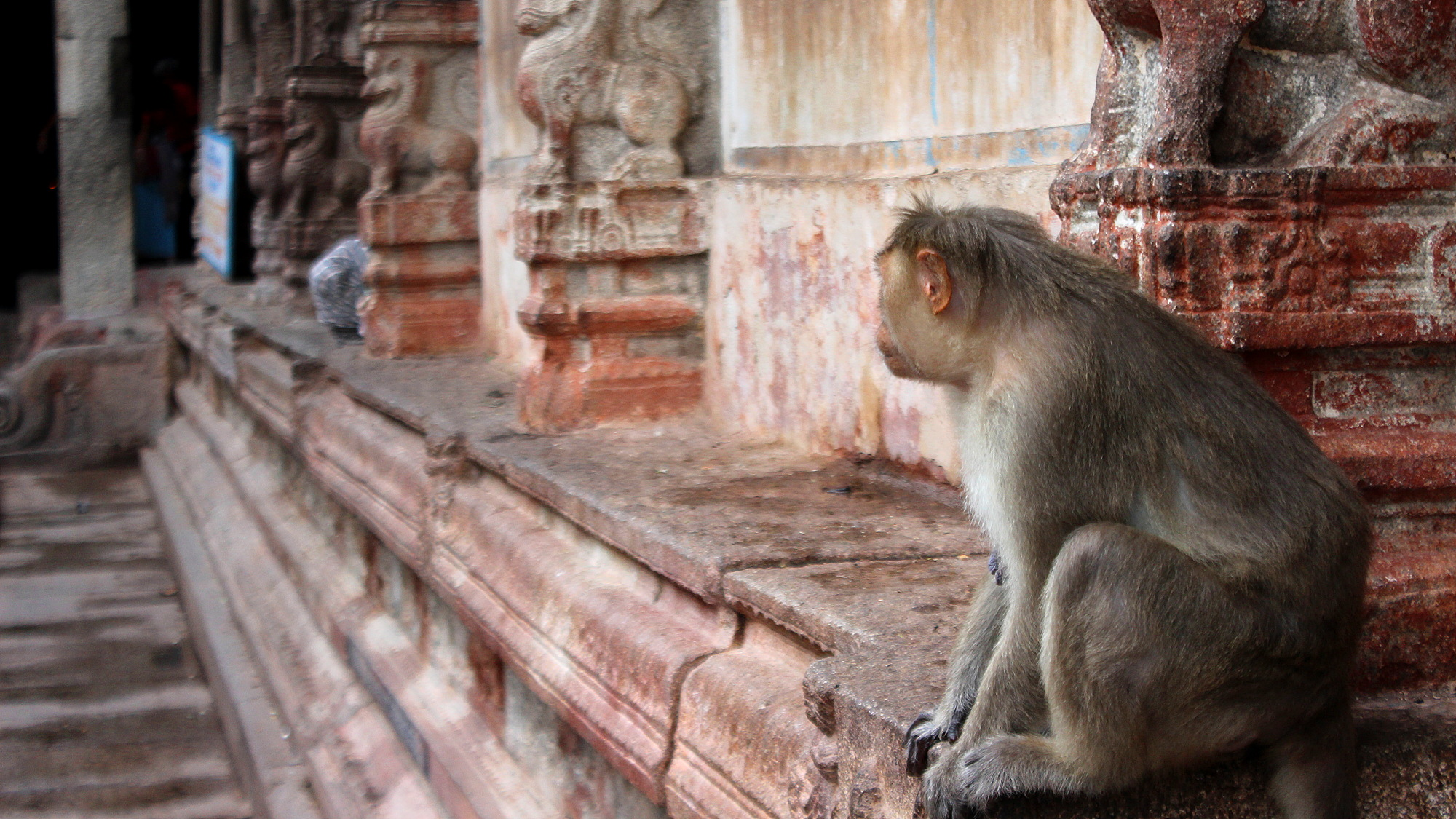 A monkey in a temple looking behind a corner at a plastic pack it tried to investigate earlier.