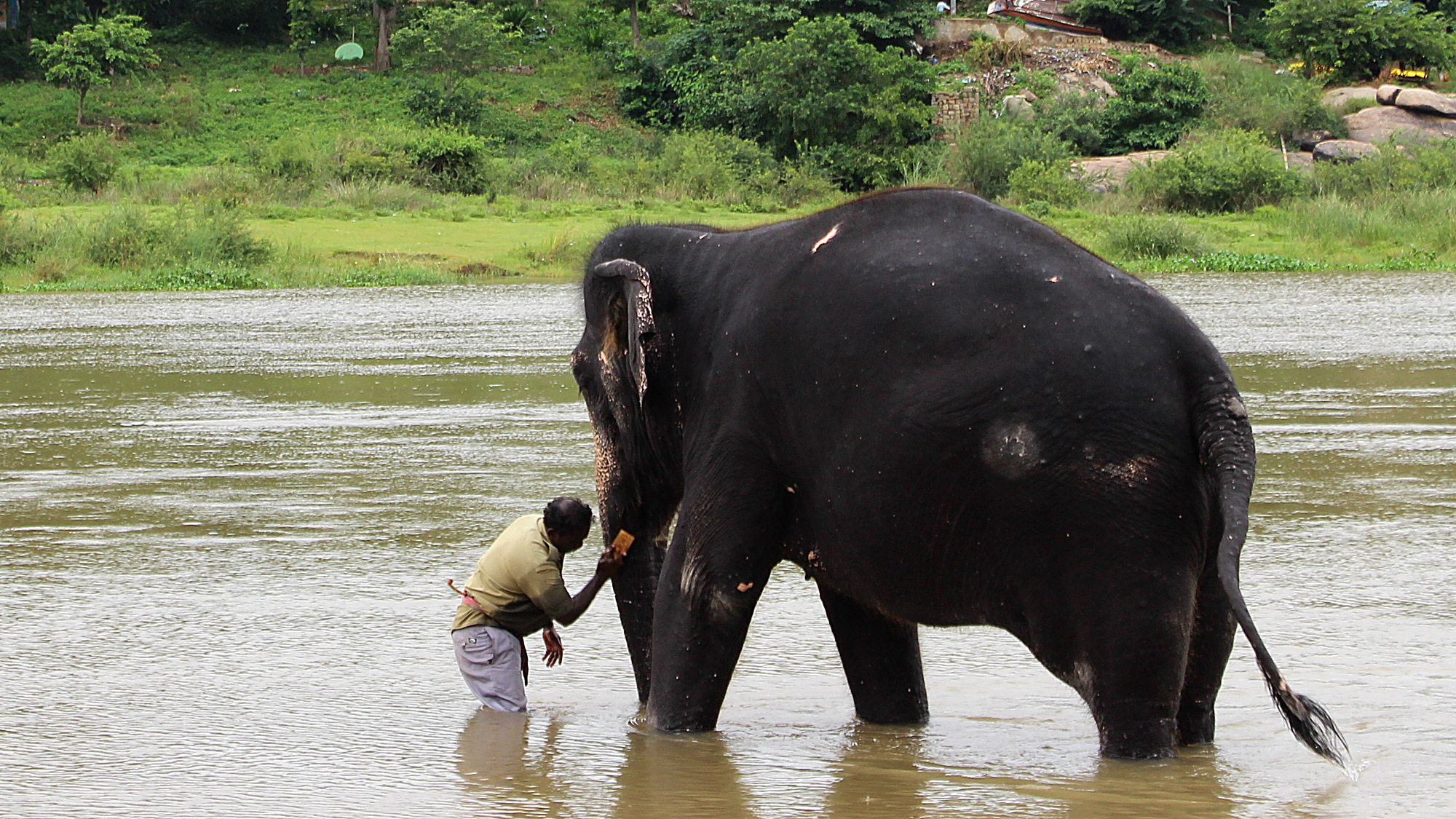 Lakshmi, the temple elephant of Virupaksha temple takes a bath every morning in the river in Hampi.