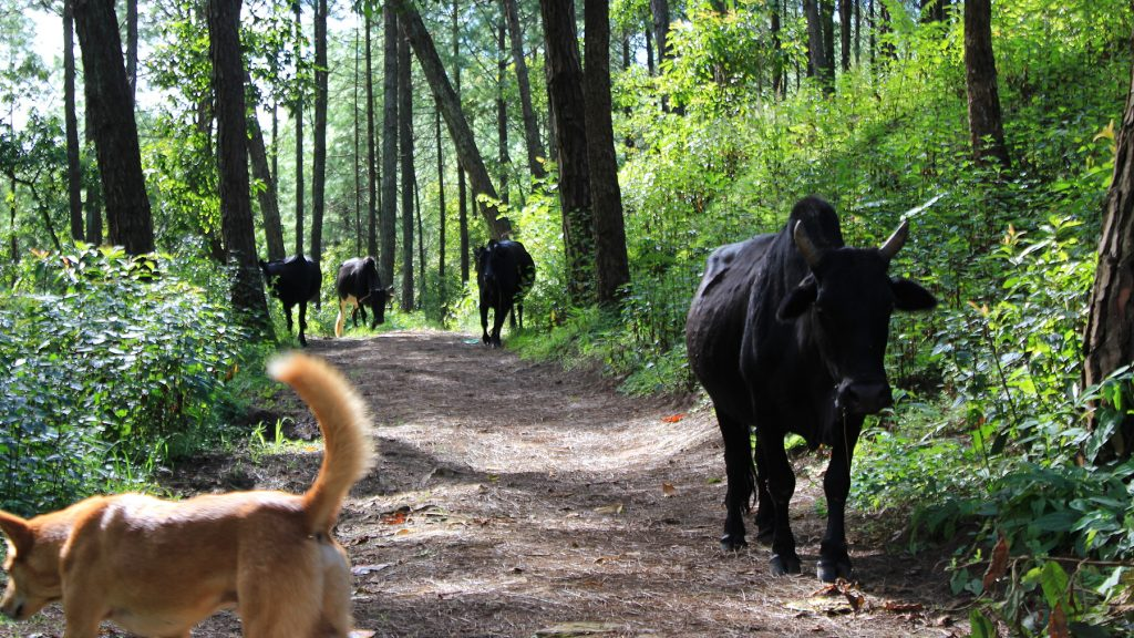 Cows and a stray dog walking a forest path on Shreenagar Hill.
