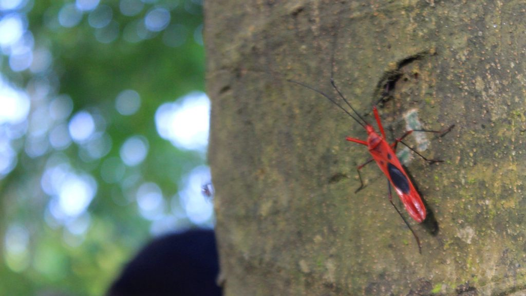 A beautiful red cotton bug on a tree in Chitwan National Park, Nepal.