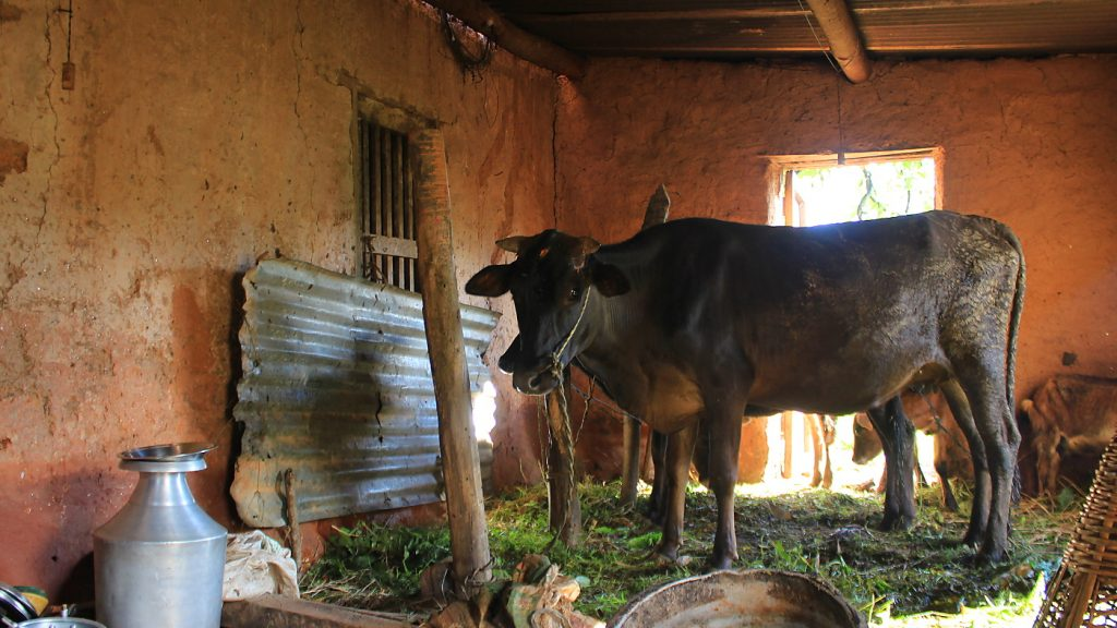 A cow tied to a pole inside a clay building in Nepal.