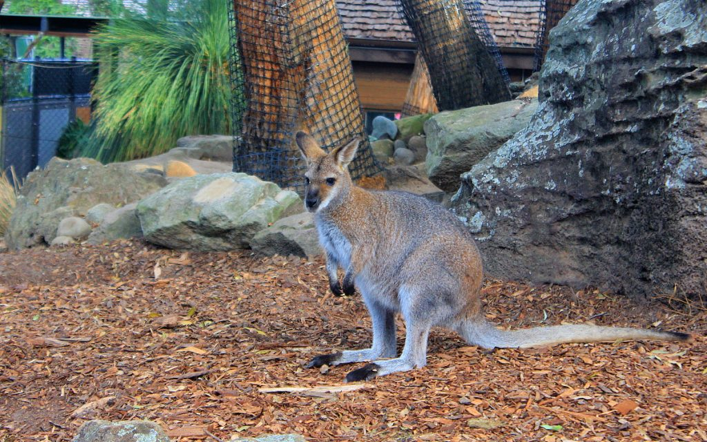 Cute Australian animals. A wallaby in Taronga Zoo, Sydney.