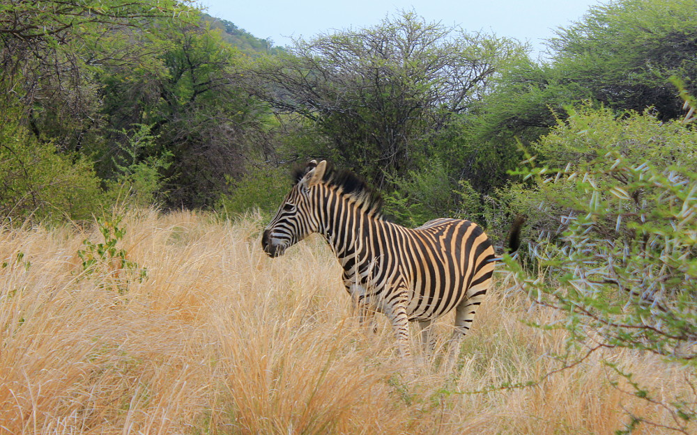A Zebra at a game reserve in Mokopane, South Africa