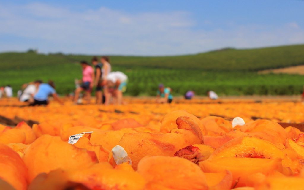 Peaches drying at Gleanings for the Hungry, California.