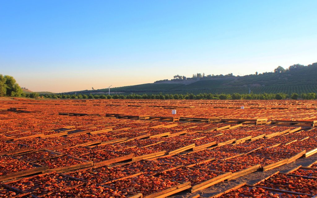 Peaches drying up on the field at Gleanings for the Hungry, Dinuba.