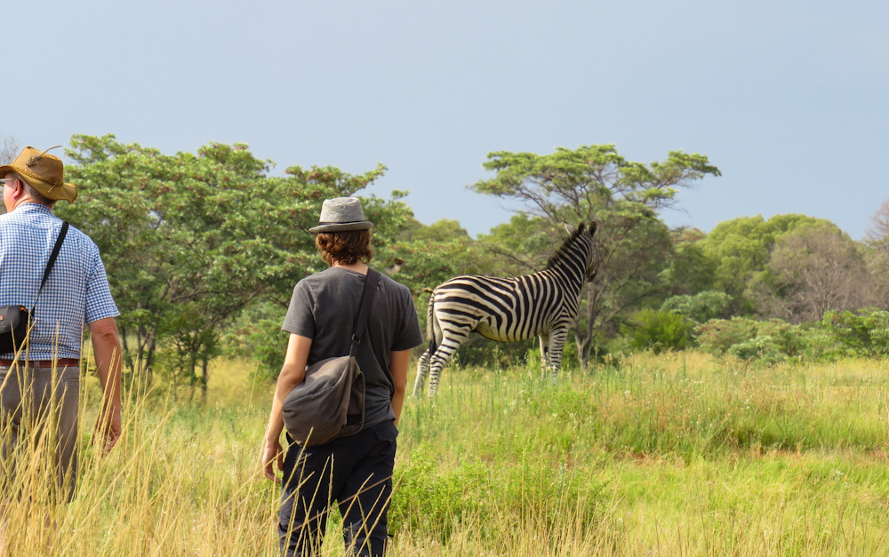 Traveling in Africa on Public Transport.Spotting zebras and other animals on Entabeni Game Reserve golf course near Mokopane, South Africa.
